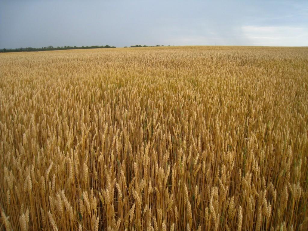 Francia recortó su panorama para las exportaciones de trigo fuera de la UE