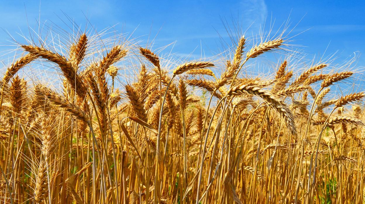 Cosecha de trigo finalizó con 17 millones de toneladas