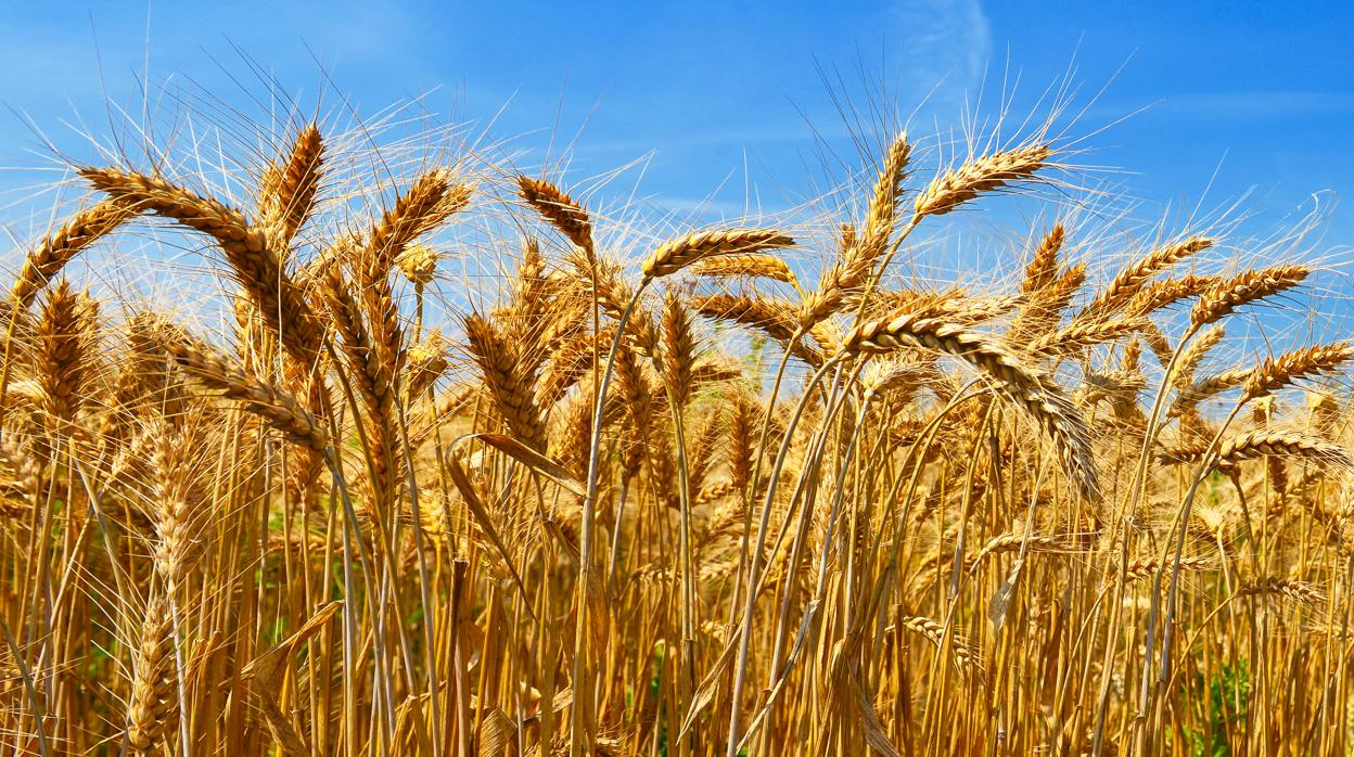 20 millones de toneladas de trigo se esperan este año