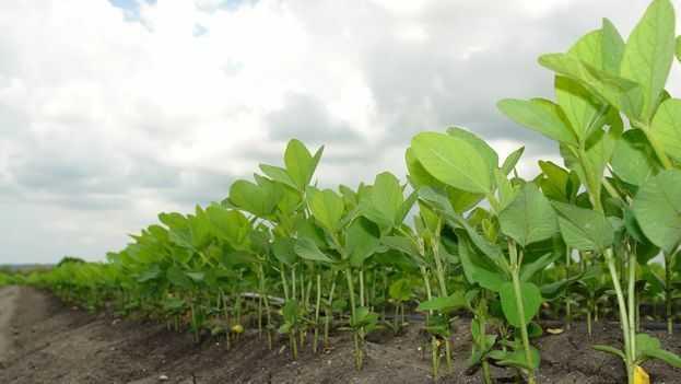 BCR recortó la estimación de soja a 45 M de toneladas