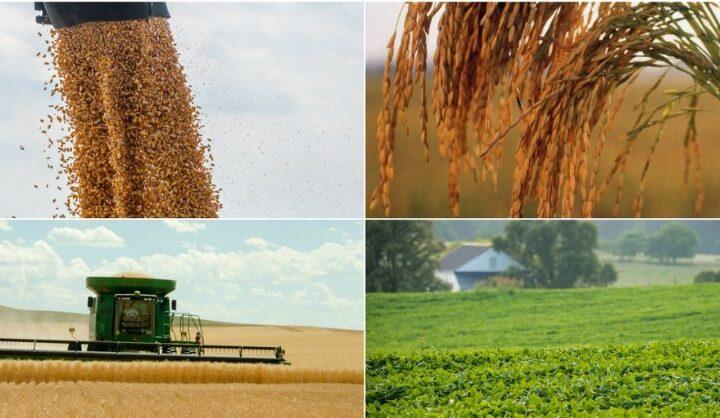USDA redujo la estimación de producción de maíz