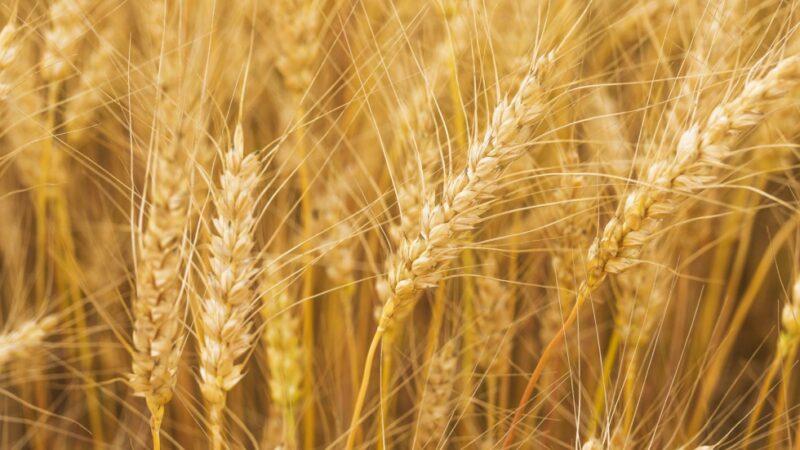 El trigo HB4 de Bioceres espera aprobación el Brasil