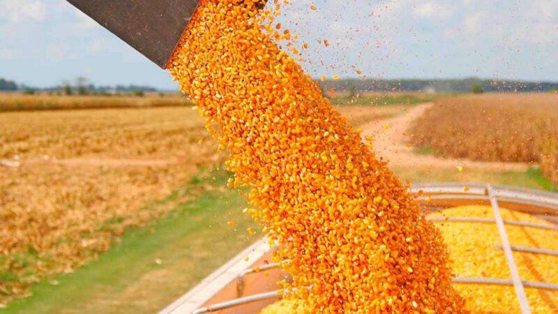 El maíz reemplaza a la soja en rentabilidad